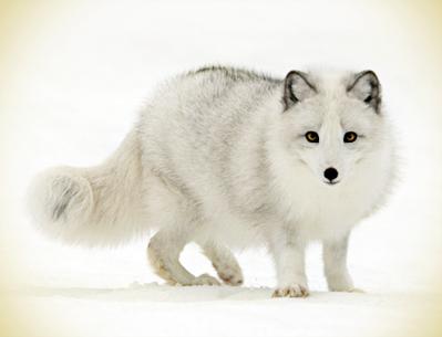 Zorro blanco en la nieve